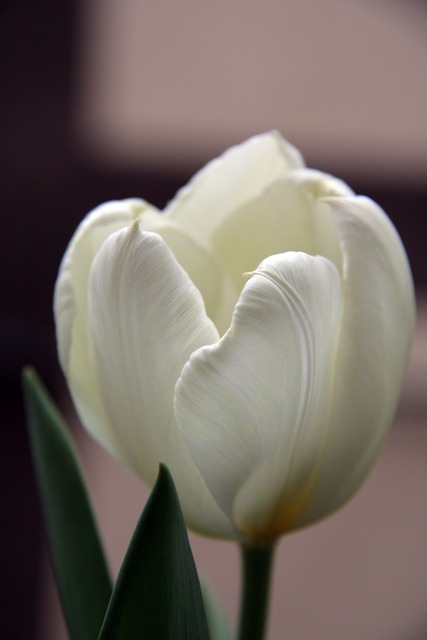 Tulip white flower, nature landscapes.
