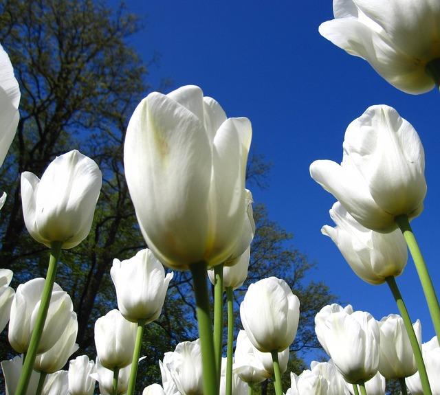 Tulip white keukenhof, nature landscapes.
