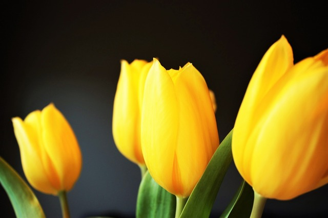 Tulip yellow flower, nature landscapes.