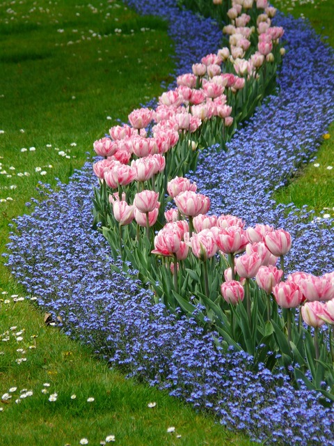 Tulips bed pink, nature landscapes.