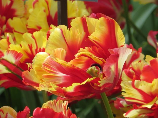 Tulips close farbenpracht.