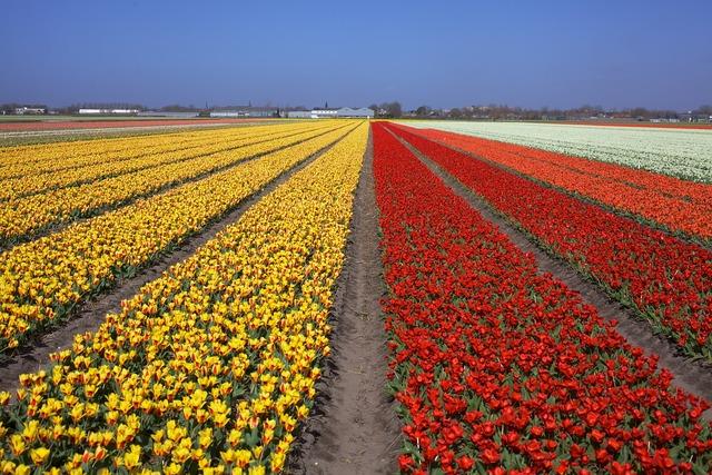 Tulips flower field holland.