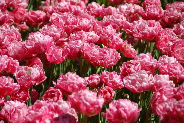 Tulips flowers amsterdam.