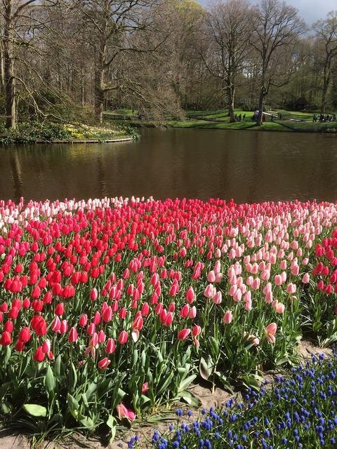 Tulips flowers keukenhof, nature landscapes.