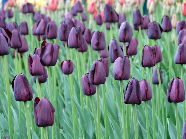 Tulips flowers nature, nature landscapes.