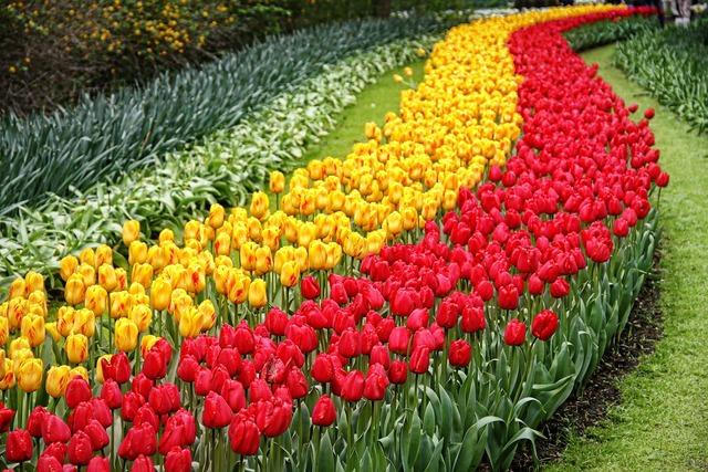 Tulips garden keukenhof.