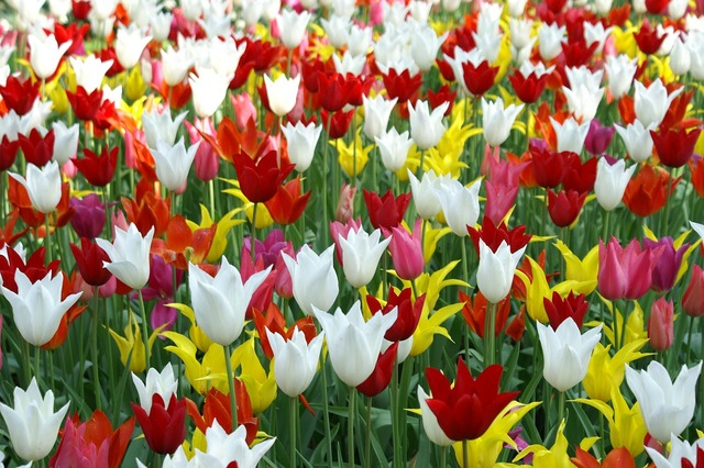 Tulips holland spring, nature landscapes.