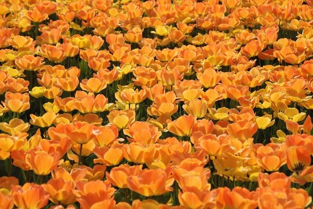 Tulips holland tulip fields.