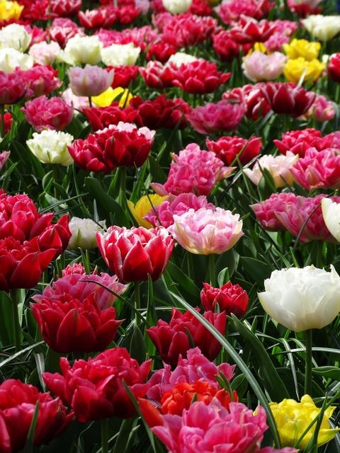 Tulips keukenhof spring, nature landscapes.