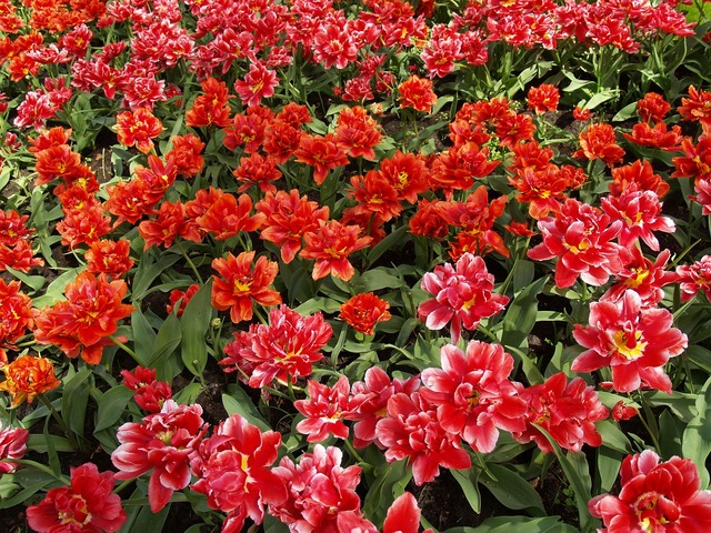Tulips red flower, travel vacation.
