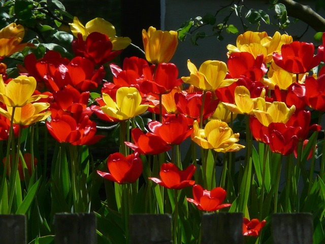 Tulips red yellow, nature landscapes.