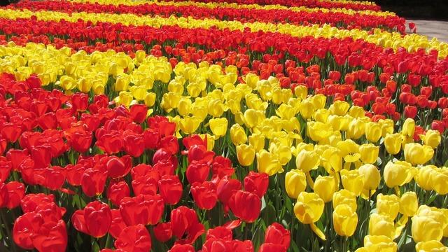 Tulips spring keukenhof.