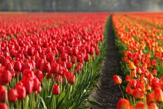 Tulips tulip field, backgrounds textures.
