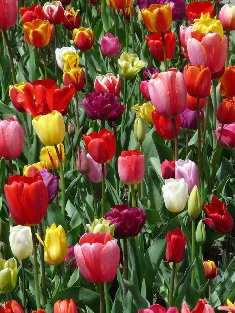Tulips tulpenbluete flowers, nature landscapes.