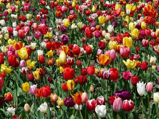 Tulpenbluete tulips flowers, nature landscapes.