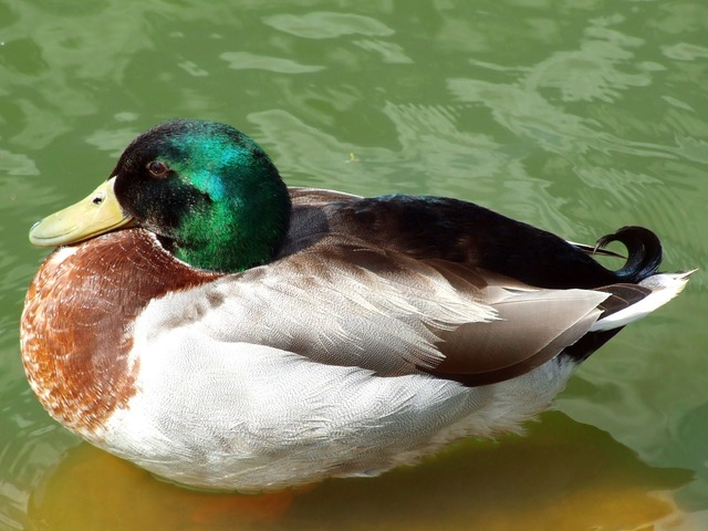 Turkey ankara duck.