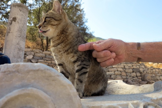 Turkey cat free photos, animals.