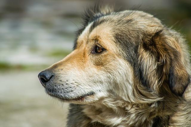 Turkey portrait dog, animals.