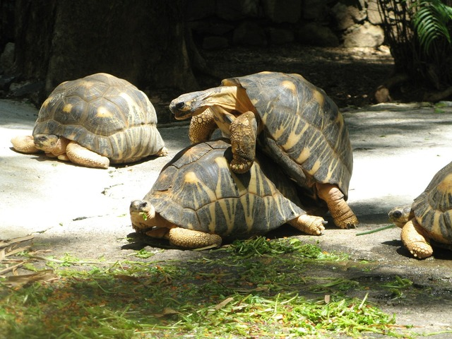 Turtles mating reproduction, nature landscapes.