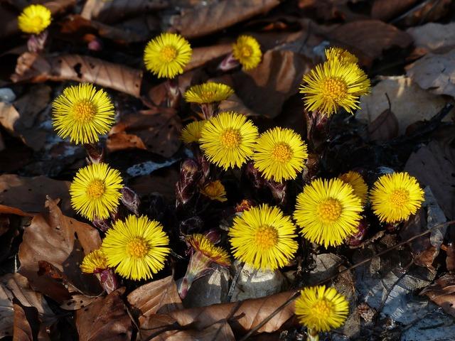 Tussilago farfara flower blossom.