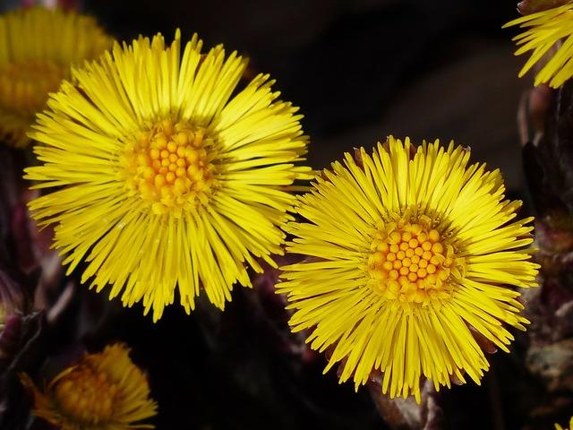 Tussilago farfara flower macro.