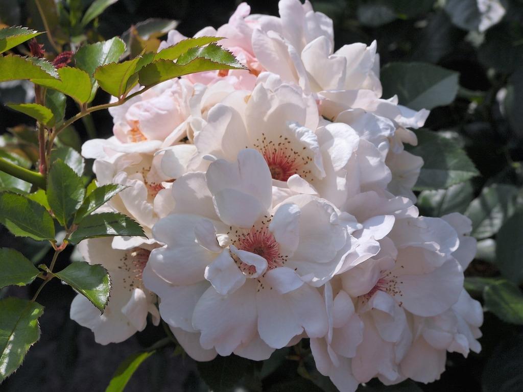 Verny park france rose.
