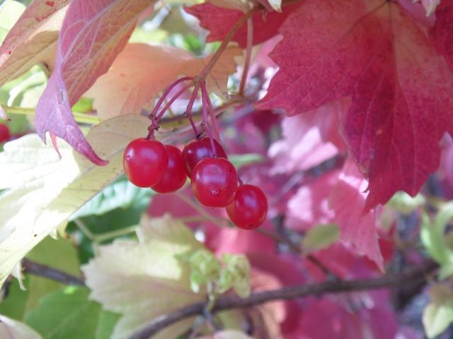 Viburnum berry plant, nature landscapes.