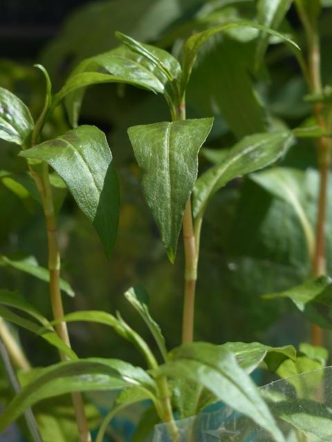 Viet nam coriander plant kitchen herb, nature landscapes.