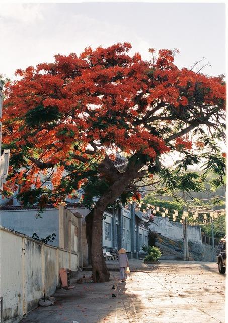 Vietnam summer red flower.