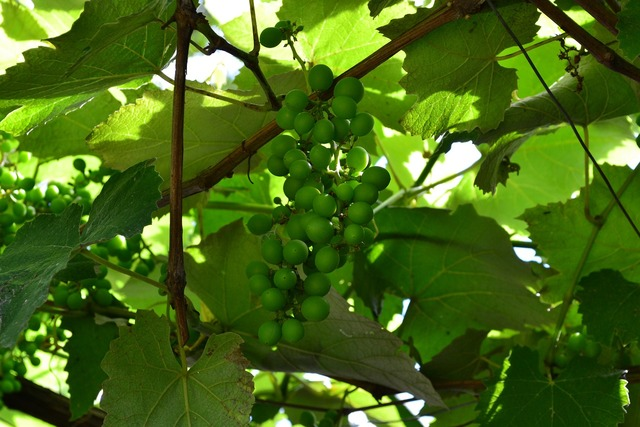Vine grapes green, food drink.