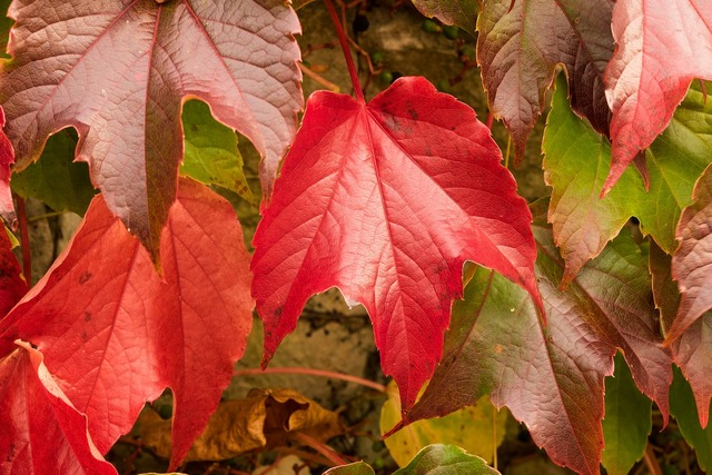 Vine leaves wine partner autumn, nature landscapes.