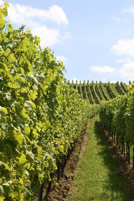 Vine vineyard vines.