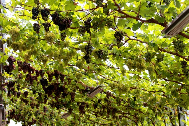 Vines germany green.