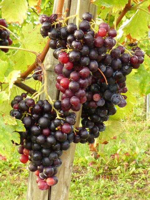 Vines wine grapes, food drink.