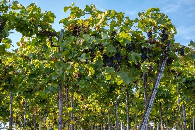 Vines wine winegrowing.