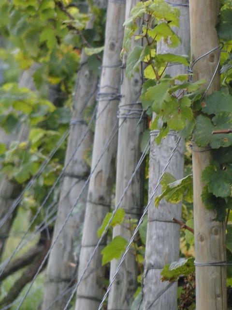 Vines wingert vineyard.