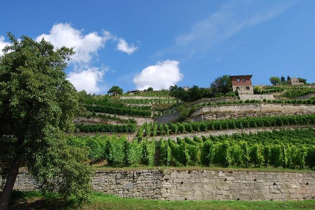 Vineyard freyburg saale unstrut.