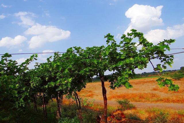 Vineyard grape vine agriculture.