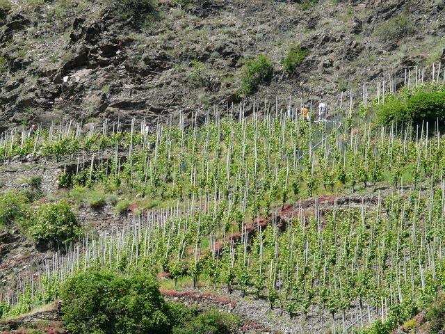 Vineyard steep slope winegrowing.