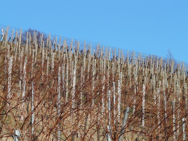 Vineyard vine winegrowing.