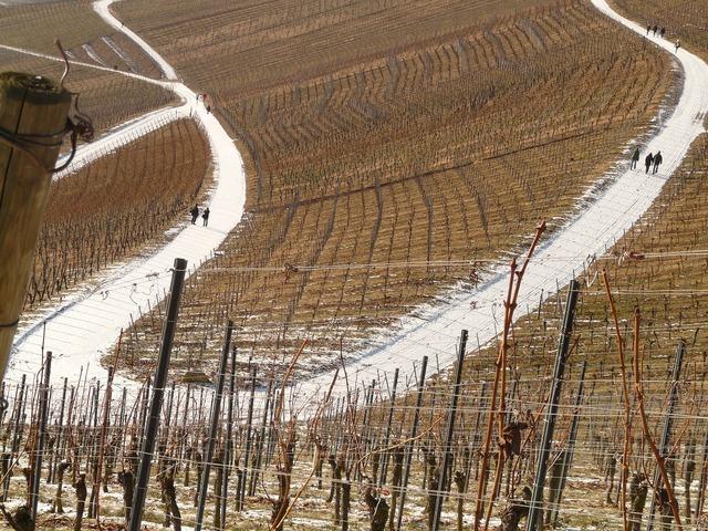 Vineyard vine winegrowing, transportation traffic.