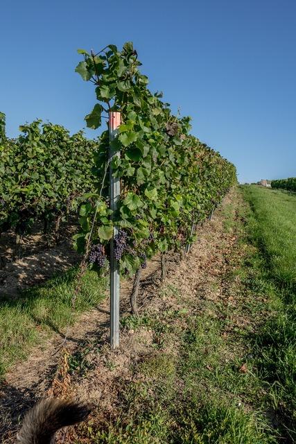Vineyard vines winegrowing, nature landscapes.