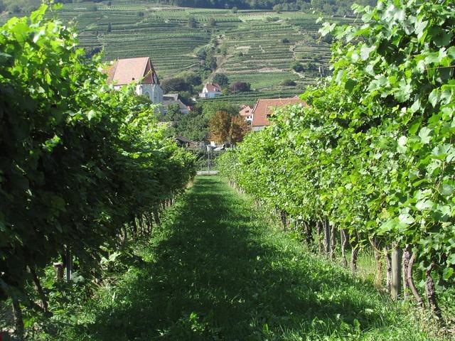 Vineyard wachau austria.