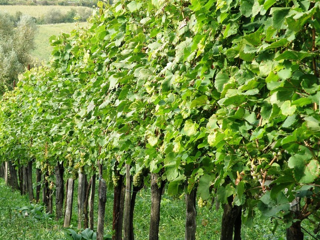 Vineyard wine grapes.