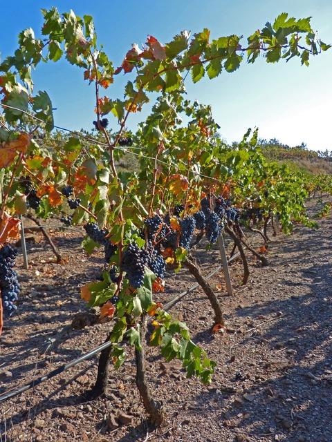 Vineyard wine priorat.