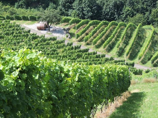Vineyard wine vines.