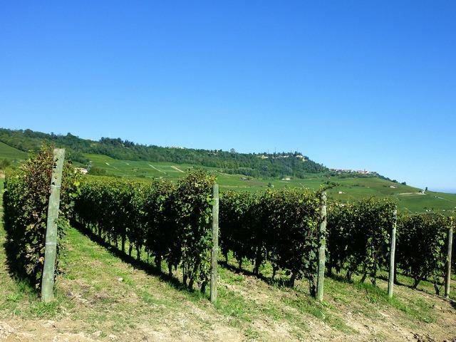 Vineyards vines italy.