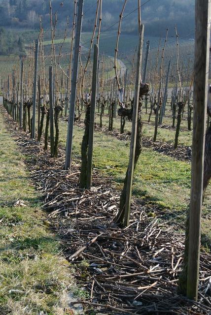 Vineyards vines wine.