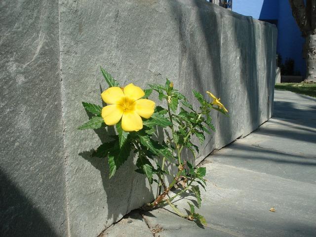 Wall flower roadside plant, nature landscapes.
