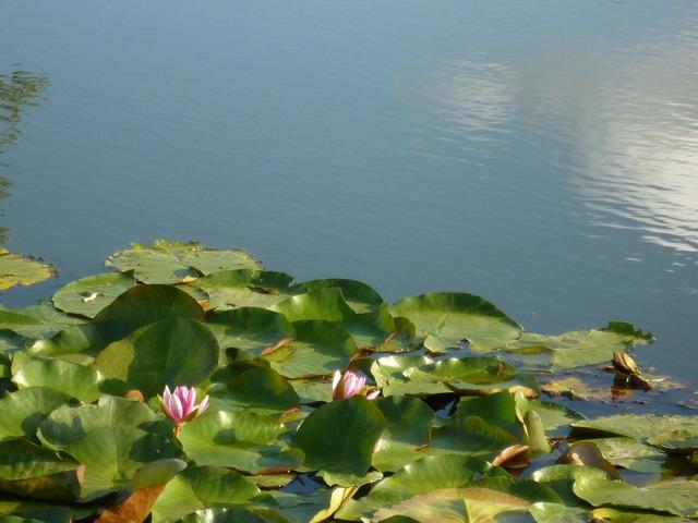 Water lilies lotus summer.